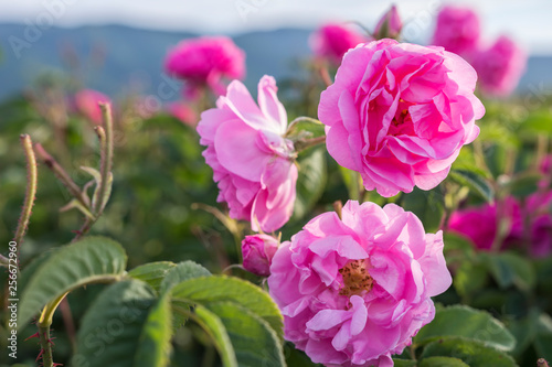 Tuinposter Roses Rosa damascena, known as the Damask rose - pink, oil-bearing, flowering, deciduous shrub plant. Balley of Roses. Close up view. Back light. Selective focus.