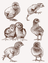 Graphical Vintage Set Of Chicks ,retro Background, Farm Animal