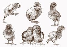 Graphical Vintage Set Of Chicks ,retro Background, Farm Animal