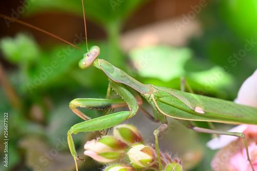 Fotografie, Obraz  mantis a slender predatory insect