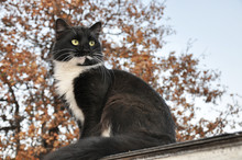 Handsome Tuxedo Cat Sitting High Up, Looking To The Right Of The Viewer, With An Oak Tree On The Background