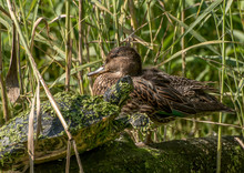 Water Turtle Covered With Duckweed And A Duck Sitting On A Log In The Reeds
