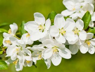 Panel Szklany Podświetlane Do biura Spring day. White flowers of apple tree, close-up
