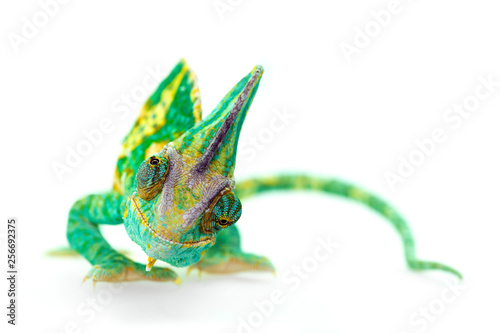 Foto op Plexiglas Kameleon funny close view of a beautiful green colorful chamaeleo calyptratus looking you. Species also called veiled, cone-head or yemen chameleon.