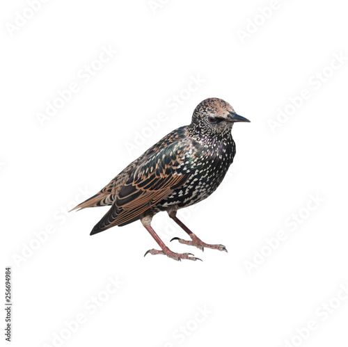 The common starling (Sturnus vulgaris), isolated on white background Wall mural