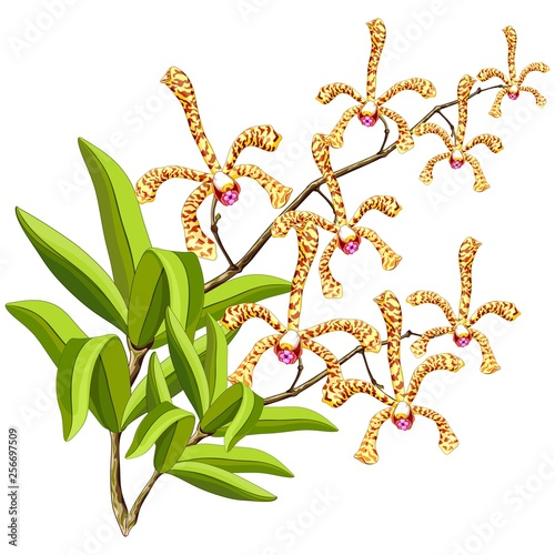 Spoed Foto op Canvas Draw Scorpion Orchids Sensual Exotic Flowers Vector Illustration