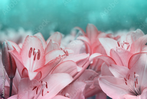 Delicate Summer Floral Background Small Pale Pink Lily Flowers In