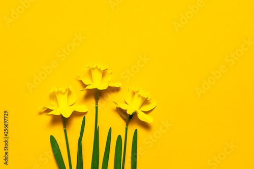 Spring floral background. Yellow narcissus or daffodil flowers on yellow background top view flat lay. Easter concept, International Women's Day, March 8, holiday. Card with flowers. Place for text