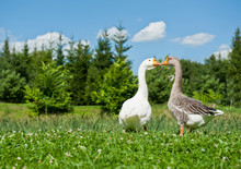 White And Gray Geese On Green Grass In Sunny Summer Day