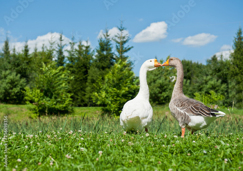 Fototapeta White and gray geese on green grass in sunny summer day