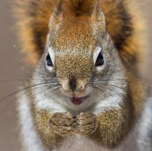 American Red Squirrel (Tamiasciurus Hudsonicus) In Winter