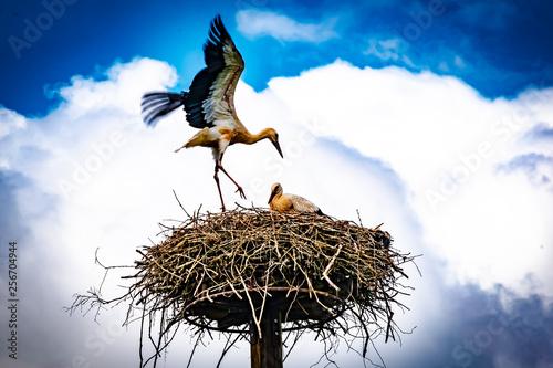 Naklejki Bocian  obraz-na-plotnie-wildlife-germany-a-stork-s-nest-with-stork-father-and-three-young-birds-on-a-mast-in-the-ebsdorfergrund-near-marburg-in-germany