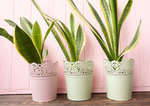 Fresh Green Long Flowers With Vertical Leaves On Pink Wooden Background.
