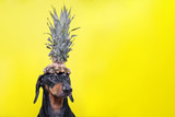 Fototapeta Zwierzęta - Portrait of cute dachshund dog, black and tan,   holding pineapple on head on  bright yellow background. Beach style. long format banner. copy spase
