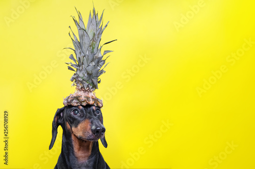 Portrait of cute dachshund dog, black and tan,   holding pineapple on head on  bright yellow background. Beach style. long format banner. copy spase - 256708929