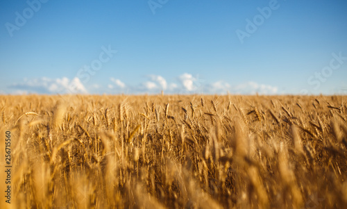 Canvas Prints Culture Close up nature photo Idea of a rich harvest. Amazing backdrop of ripening ears of yellow wheat field on the sunset cloudy orange sky background. Copy space of the setting sun rays on horizon in rural