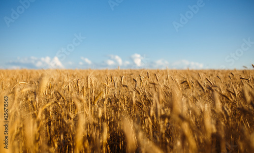 Fotobehang Cultuur Close up nature photo Idea of a rich harvest. Amazing backdrop of ripening ears of yellow wheat field on the sunset cloudy orange sky background. Copy space of the setting sun rays on horizon in rural