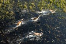 Red Lechwe In Okavango Delta