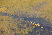 Red Lechwe In Okavango Delta