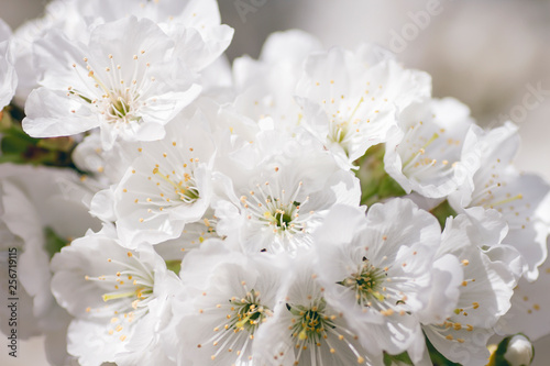 Chery blossom white flowers blooming in springtime #256719115