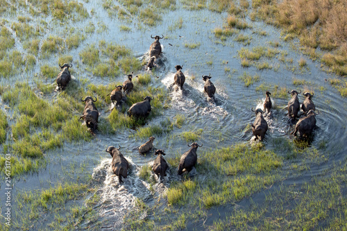 Spoed Fotobehang Buffel Buffalo herd in the Okavango Delta