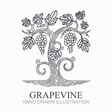 Grape Vine. Vineyard Engraving...
