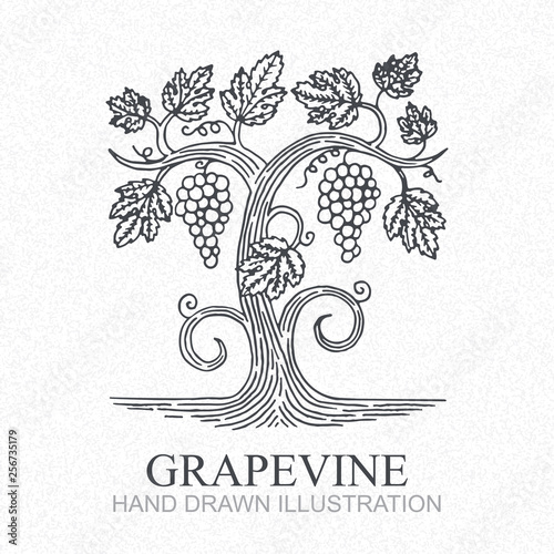 Grape vine. Vineyard engraving style hand drawn vector illustration. Grape and vine logo. Fototapete