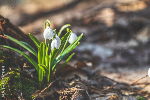 Photo  White blooming snowdrop folded or Galanthus plicatus