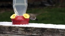 Hummingbird Eating Out Of Feed...