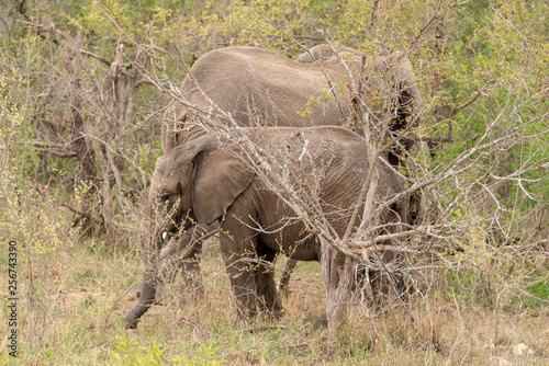 Photo African Elephant (Loxodonta africana)