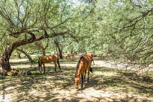 Wild Mustang Horses Grazing