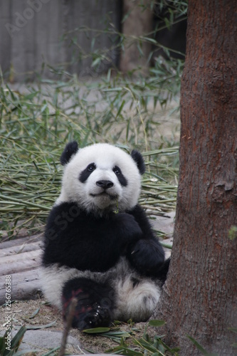 Photo Selected Focus of Little Baby Panda Cub in his Playground, Chengdu, China