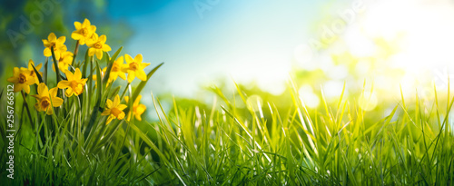 Poster Fleuriste Daffodil flower in the morning