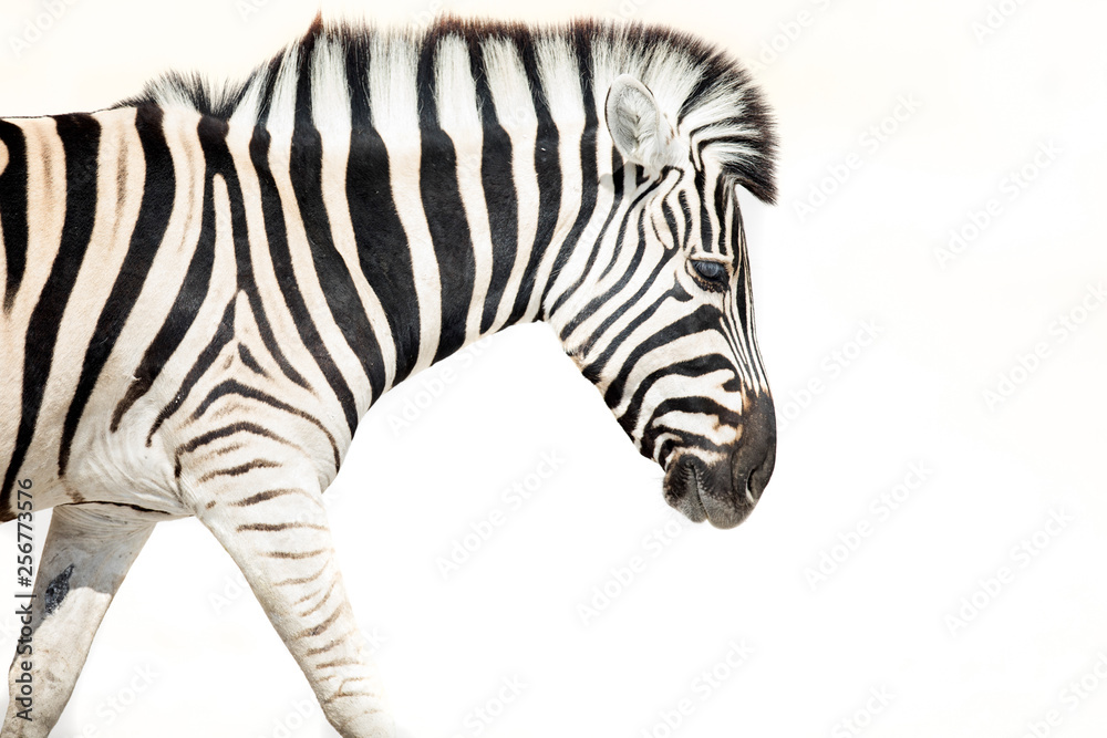 Fototapety, obrazy: High Key image of a zebra