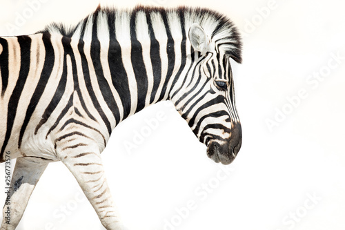 High Key image of a zebra