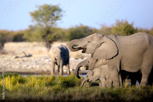 Photo sur Toile Elephant Elephants drinking