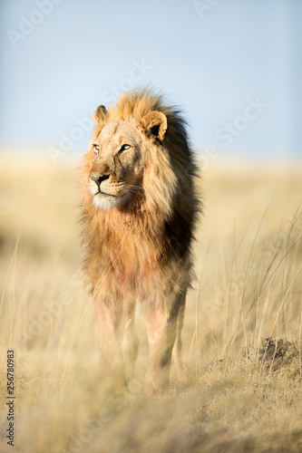 A lion in golden morning light