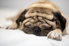 Cute Pug Dog Breed Lying On White Bed And Blanket In Bedroom Smile With Funny Face  - Image