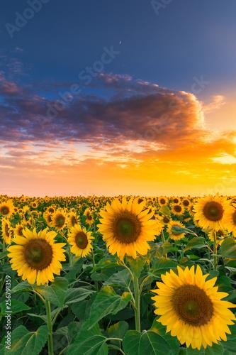 Fototapeta Sunflower field in sunset #5 obraz na płótnie
