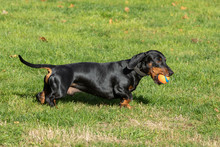 Dachshund Running And Jumping On The Lawn