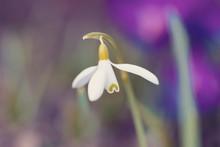 First Spring Flower Galanthus Snowdrop Bloom In Springtime Garden. First Messenger Of Spring After Winter Season