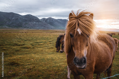 Photo Icelandic horse in the field of scenic nature landscape of Iceland
