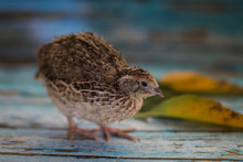 Fluffy Baby Bird Of A Quail Of A Natural Color