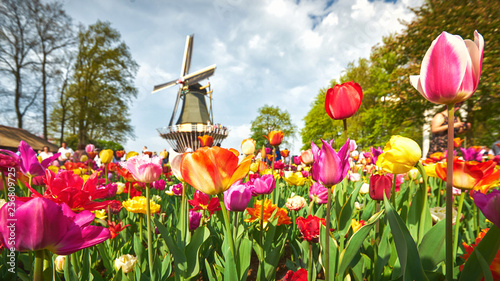 Blooming tulips in the park with a windmill at the background