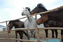 Beautiful Black, White, Horse Stud Farm. Near The Fence