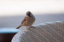 Closeup Of Sparrow Standing On...