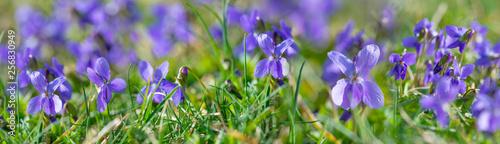 Slika na platnu Viola odorata known as wood violet or sweet violet