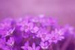 Purple flowers (hepatica) in the asian garden