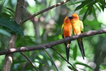 Sun Parakeet Couple Kissing