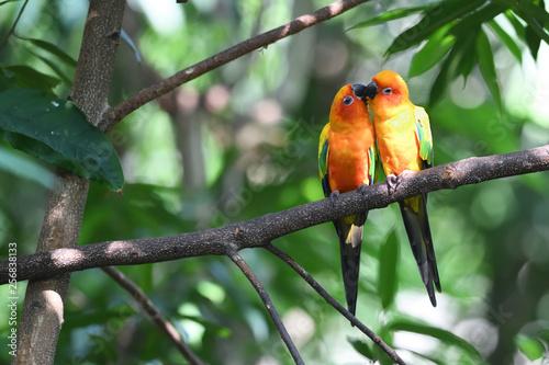 Autocollant pour porte Perroquets Sun parakeet couple kissing